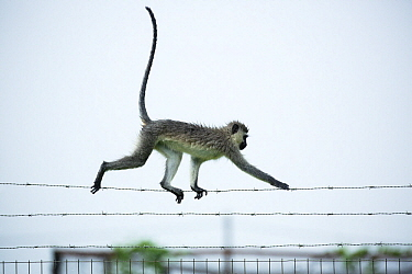Savanah Monkey (Chlorocebus aethiops) balancing on barbed wire, Umlalazi Nature Reserve, KwaZulu-Natal, South Africa