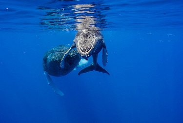 Humpback Whale (Megaptera novaeangliae) mother and calf, Maui, Hawaii