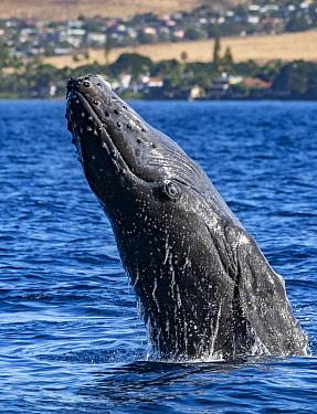 Humpback Whale (Megaptera novaeangliae) juvenile breaching, Maui, Hawaii