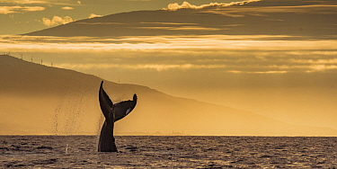 Humpback Whale (Megaptera novaeangliae) tail slapping at sunrise, Lahaina, Maui, Hawaii