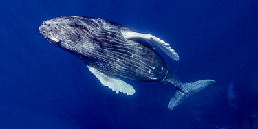 Humpback Whale (Megaptera novaeangliae) calf, Maui, Hawaii