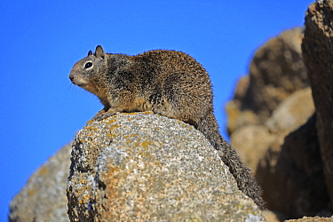 California Ground Squirrel (Spermophilus beecheyi), Monterey, California