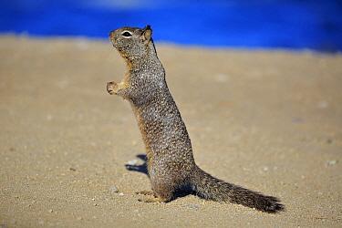 California Ground Squirrel (Spermophilus beecheyi) begging for food, Monterey, California