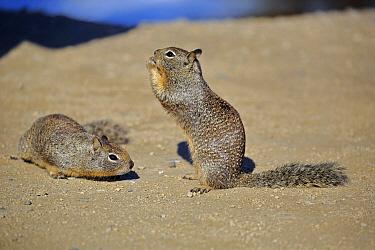 California Ground Squirrel (Spermophilus beecheyi) pair feeding on human food, Monterey, California