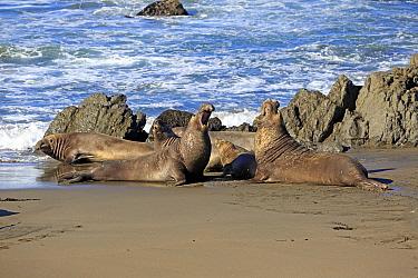 Northern Elephant Seal (Mirounga angustirostris) males facing off, Piedras Blancas, California