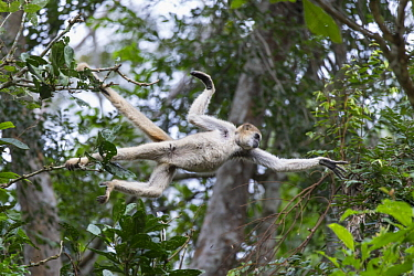 Northern Muriqui (Brachyteles hypoxanthus) leaping between trees, Feliciano Miguel Abdala Private Natural Heritage Reserve, Atlantic Forest, Brazil