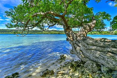 Alexandrian Laurel (Calophyllum inophyllum) tree on coast, Aimbuei Bay, Aore Island, Vanuatu