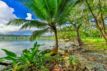 Coconut Palm (Cocos nucifera) tree on coast, Aimbuei Bay, Aore Island, Vanuatu