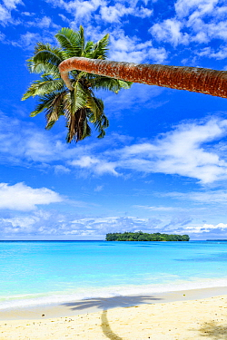 Coconut Palm (Cocos nucifera) tree on beach, Port Olry, Espiritu Santo, Vanuatu