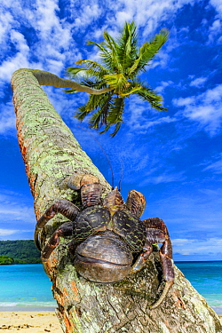 Coconut Crab (Birgus latro) on palm tree, Espiritu Santo, Vanuatu