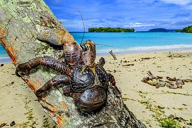 Coconut Crab (Birgus latro) on palm tree, Espiritu Santo, Vanuatu