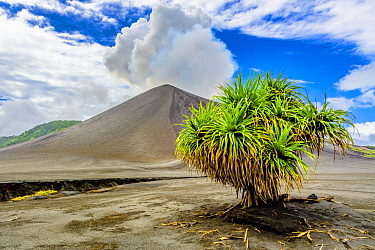 Hala (Pandanus tectorius) tree in volcanic field, Mount Yasur, Tanna Island, Vanuatu