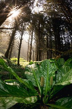 Western Skunk Cabbage (Lysichiton americanus) in temperate rainforest, Oregon