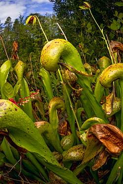 Cobra Lily (Darlingtonia californica), California