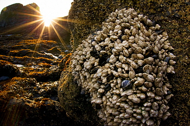 Leaf Barnacle (Pollicipes polymerus) group at sunset, Yaquina Head Outstanding Natural Area, Newport, Oregon