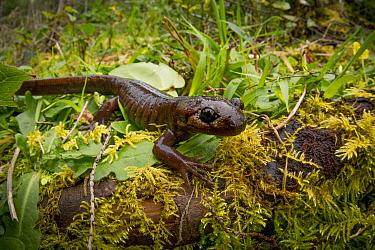 Northwestern Salamander (Ambystoma gracile), Oregon