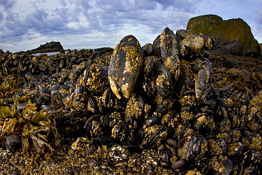 California Mussel (Mytilus californianus) group, Yaquina Head Outstanding Natural Area, Newport, Oregon