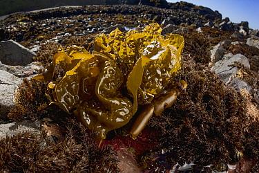 Sea Cabbage Kelp (Saccharina sessilis), Yaquina Head Outstanding Natural Area, Newport, Oregon