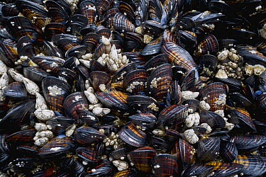 Leaf Barnacle (Pollicipes polymerus) group, California Mussels (Mytilus californianus), and White Acorn Barnacles (Balanus glandula), Lincoln City, Oregon