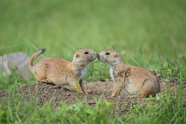 Black-tailed Prairie Dog (Cynomys ludovicianus) pair greeting, Wind Cave National Park, South Dakota