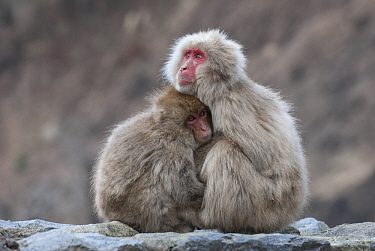 Japanese Macaque (Macaca fuscata) mother and sub-adult huddling, Jigokudani, Nagano, Japan