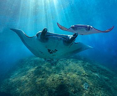 Reef Manta Ray (Manta alfredi) pair, Nusa Penida, Bali, Indonesia