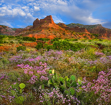 Wildflowers and cacti, Caprock Canyons State Park, Texas