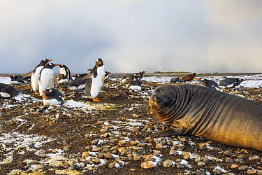 Gentoo Penguin (Pygoscelis papua) nesting colony and young Southern Elephant Seal (Mirounga leonina), Falkland Islands
