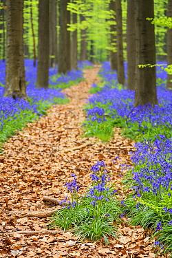 English Bluebell (Hyacinthoides nonscripta) flowering in European Beech (Fagus sylvatica) forest, Hallerbos, Belgium