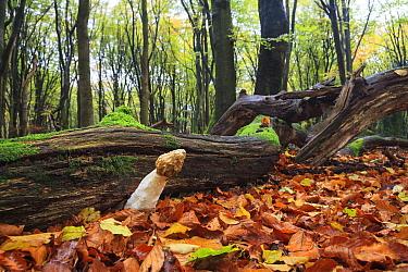 Common Stinkhorn (Phallus impudicus) mushroom in European Beech (Fagus sylvatica) forest, Netherlands