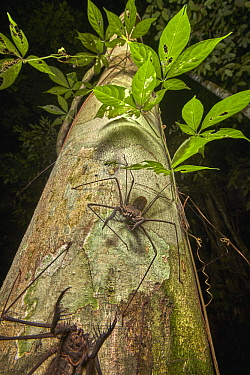 Tailless Whip Scorpion pair, Tambopata Research Center, Peru