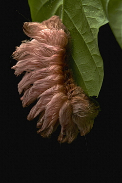 Flannel Moth (Megalopygidae) caterpillar, Tambopata Research Center, Peru