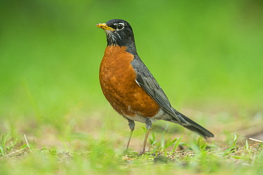 American Robin (Turdus migratorius), Magee Marsh Wildlife Area, Michigan