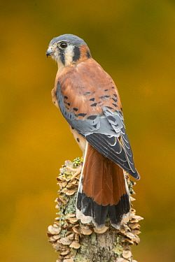 American Kestrel (Falco sparverius), native to North America