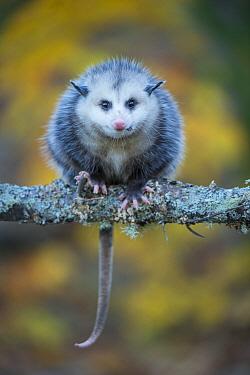 Virginia Opossum (Didelphis virginiana), native to North America