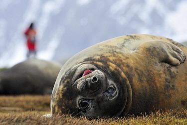 Southern Elephant Seal (Mirounga leonina) female and tourist, King Haakon Bay, South Georgia Island