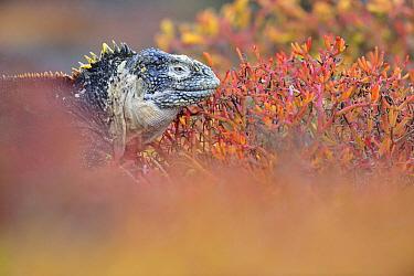 Galapagos Land Iguana (Conolophus subcristatus), Fernandina Island, Galapagos Islands, Ecuador