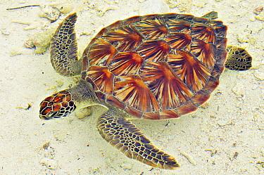 Hawksbill Sea Turtle (Eretmochelys imbricata), D'Arros Island, Seychelles