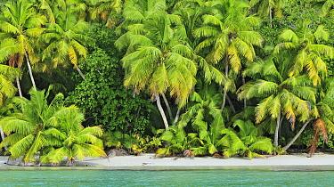 Coconut Palm (Cocos nucifera) trees on beach, D'Arros Island, Seychelles