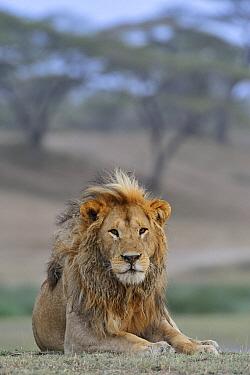 African Lion (Panthera leo) male, Ngorongoro Conservation Area, Tanzania