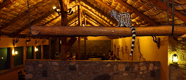 Small-spotted Genet (Genetta genetta) in lodge at night, Ngorongoro Conservation Area, Tanzania