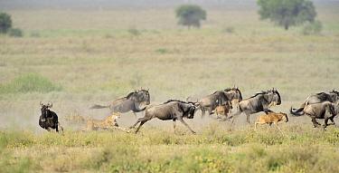 Cheetah (Acinonyx jubatus) female hunting Blue Wildebeest (Connochaetes taurinus), Ngorongoro Conservation Area, Tanzania