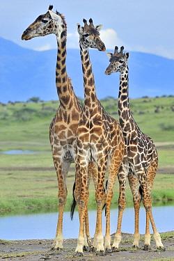 Masai Giraffe (Giraffa tippelskirchi) trio, Ngorongoro Conservation Area, Tanzania