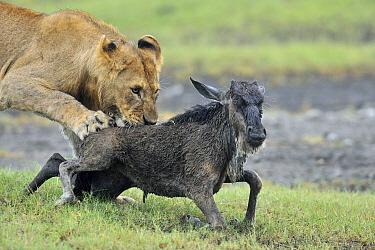 African Lion (Panthera leo) sub-adult male predating Blue Wildebeest (Connochaetes taurinus) calf, Ngorongoro Conservation Area, Tanzania