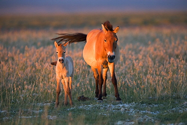 Przewalski's Horse (Equus ferus przewalskii) mother and three week old foal, Gobi Desert, Mongolia