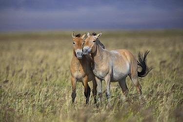 Przewalski's Horse (Equus ferus przewalskii) sub-adult males play-fighting, Gobi Desert, Mongolia