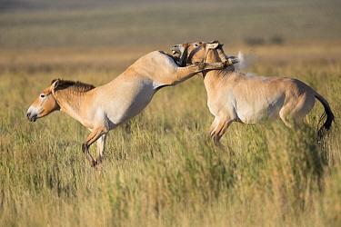Przewalski's Horse (Equus ferus przewalskii) stallions fighting, Gobi Desert, Mongolia