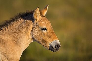 Przewalski's Horse (Equus ferus przewalskii) three week old foal, Gobi Desert, Mongolia