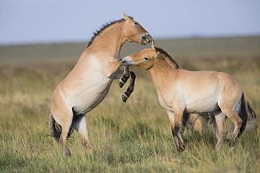 Przewalski's Horse (Equus ferus przewalskii) sub-adult males fighting, Gobi Desert, Mongolia