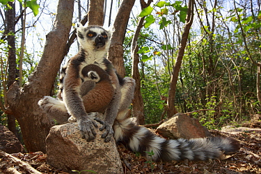 Ring-tailed Lemur (Lemur catta) mother and young in forest, Anja Park, Madagascar